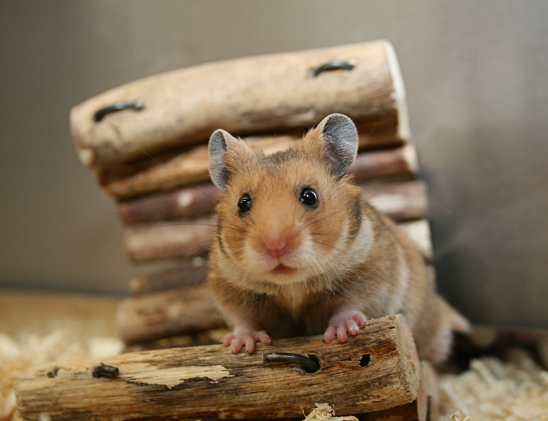 So lebt der Hamster ein glückliches Leben
